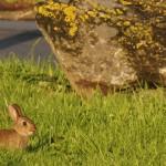 Le lapin de Pâques passe-t-il par l'Australie ?